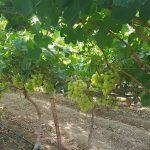 ענבים ירוקים בלי חרצנים פירות ירקות טרי מהשדה שוק איכרים משק רמי קנטור