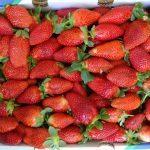 תותים ירקות פירות שוק איכרים רמת השרון