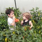 ילדים משפחות קוטפים פלפלים בשדות רמת השרון