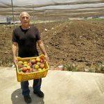 החקלאי יפתח קלי מחזיק ארגז מנגו איה במשק רמי קנטור